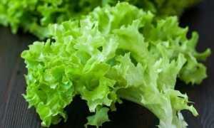 Салат (Lactuca sativa) — описание, выращивание, фото
