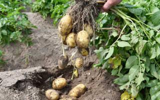 Картофель 'Воротынский ранний' — описание сорта, характеристики