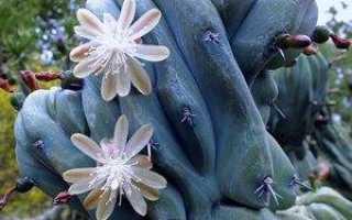Миртиллокактус геометрический (Myrtillocactus geometrizans) — описание, выращивание, фото