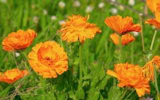 Топ-12 лекарственных растений, пригодных для домашнего выращивания