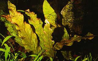 Барклайя (Barclaya) — описание, выращивание, фото