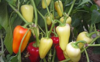Перец сладкий 'Белоснежка' — описание сорта, характеристики