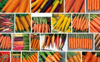 Морковь посевная 'Тайфун' — описание сорта, характеристики