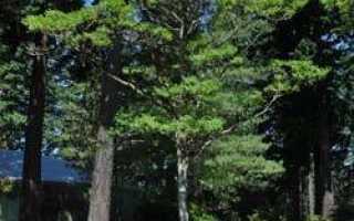 Бархат амурский (Phellodendron amurense) — описание, выращивание, фото