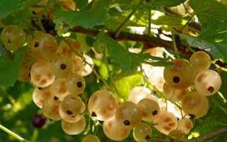 Смородина белая 'Белка' — описание сорта, характеристики