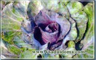 Капуста краснокочанная 'Калибос' — описание сорта, характеристики