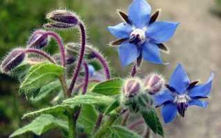 Огуречная трава лекарственная 'Гном' — описание сорта, характеристики