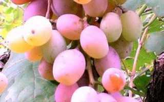 Виноград культурный 'Алина' — описание сорта, характеристики