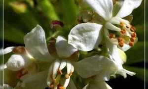 Шуазия тройчатая (Choisya ternata) — описание, выращивание, фото