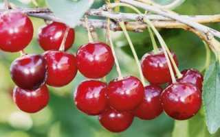 Вишня обыкновенная 'Уральская рубиновая' — описание сорта, характеристики