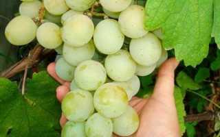 Виноград культурный 'Кеша' — описание сорта, характеристики