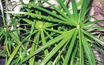 Циперус очереднолистный (Cyperus alternifolius) — описание, выращивание, фото