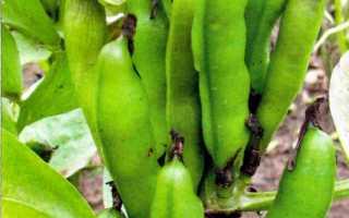 Боб садовый (Vicia faba) — описание, выращивание, фото