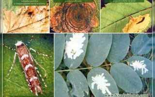 Минеры — особенности насекомых