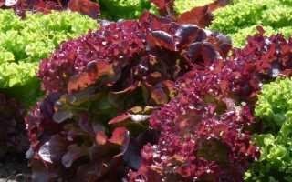 Салат 'Келтик' — описание сорта, характеристики