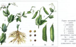 Горох овощной 'Тропар' — описание сорта, характеристики