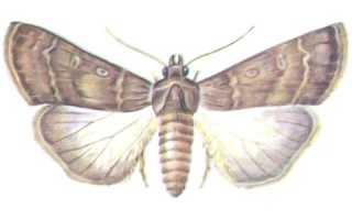 Совка — имаго и вредоносная гусеница