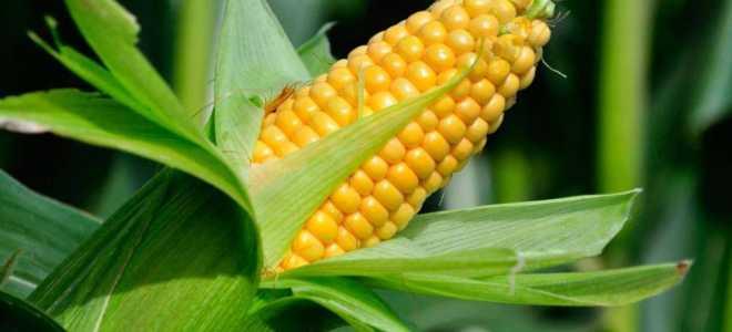 Кукуруза сахарная 'Ивушка F1' — описание сорта, характеристики