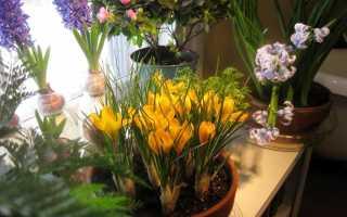 Cекреты успешной выгонки тюльпанов, нарциссов, крокусов и гиацинтов в домашних условиях