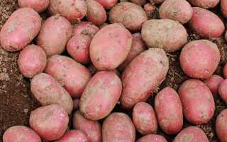 Картофель 'Олева' — описание сорта, характеристики