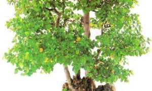 Сагереция (Sageretia) — описание, выращивание, фото