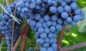 Виноград культурный 'Адель' — описание сорта, характеристики