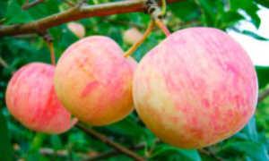 Яблоня 'Абориген' — описание сорта, характеристики