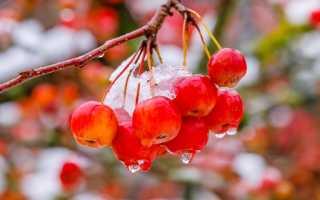 Яблоня венечная (Malus coronaria) — описание, выращивание, фото