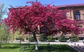 Яблоня пурпурная (Malus purpurea) — описание, выращивание, фото