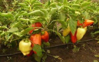Перец сладкий 'Карлик' — описание сорта, характеристики