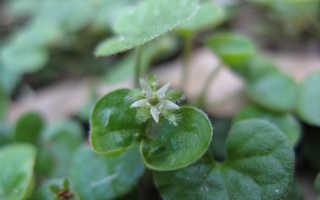Дихондра (Dichondra) — описание, выращивание, фото