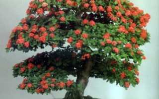 Томат (Solanum lycopersicum) — описание, выращивание, фото
