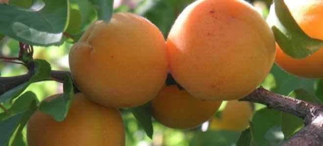 Абрикос (Prunus armeniaca) — описание, выращивание, фото