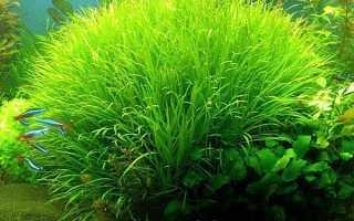 Бликса японская (Blyxa japonica) — описание, выращивание, фото