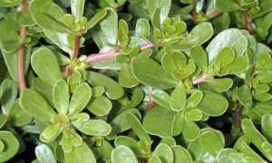 Портулак огородный (Portulaca oleracea) — описание, выращивание, фото