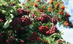 Рябина (Sorbus) — описание, выращивание, фото