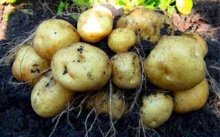 Картофель 'Импала' — описание сорта, характеристики