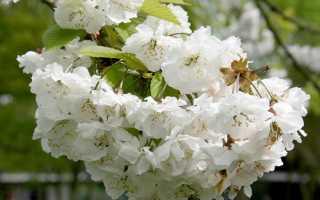 Черешня (Prunus avium) — описание, выращивание, фото