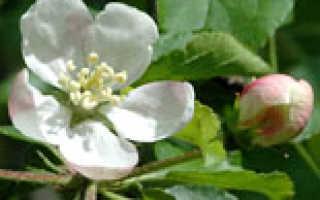 Яблоня лесная (Malus sylvestris) — описание, выращивание, фото