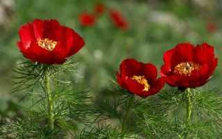 Биарум тонколистный (Biarum tenuifolium) — описание, выращивание, фото