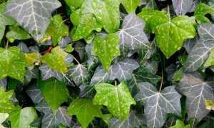 Хедера (Hedera) — описание, выращивание, фото