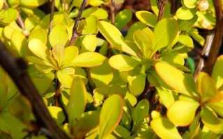 Яблоня низкая форма плакучая (Malus pumila var. pendula) — описание, выращивание, фото