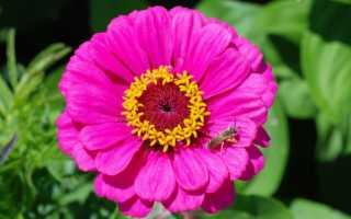Циннии — посадка семенами: пошаговая инструкция