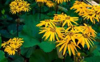 Бузульник (Ligularia) — описание, выращивание, фото