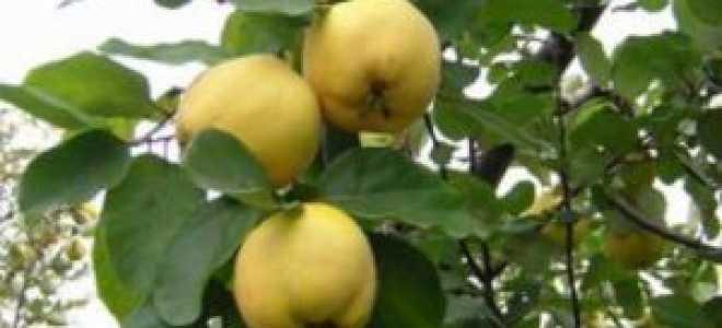 Айва 'Урожайная кубанская' — описание сорта, характеристики