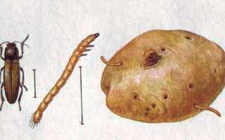 Проволочник — личинка жука-щелкуна: как вывести