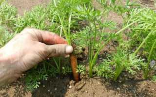 Морковь посевная 'Московская зимняя А 515' — описание сорта, характеристики