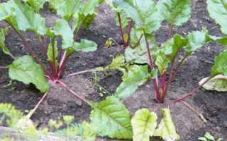 Свекла обыкновенная корнеплодная (Вeta vulgaris var. vulgaris) — описание, выращивание, фото