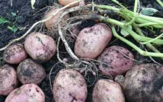 Картофель 'Романо' — описание сорта, характеристики