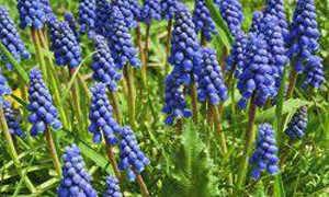 Гадючий лук гроздевидный (Muscari botryoides) — описание, выращивание, фото